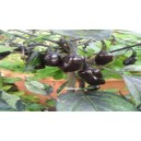 Natural Black Purple Pepper Seed(20 seed)