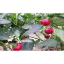 Natural Red Cayenne Slim Pepper Seed(20 Seed)