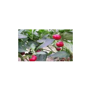 Natural Sweet Red Cherry Pepper Seed(20 seed)