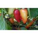 Natural Santa Fe Grande Pepper Seed(20 Seed)