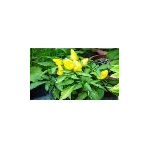 Natural Yellow Hot Small Pepper(20 seed)