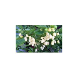Natural White Habernero Pepper Seed(20 Seed)