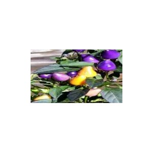 Natural Boliwian Rainbow Pepper Seed(20 Seed)