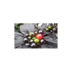 Natural Pearl Pepper Seed(20 seed)