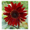Natural Red Ornamental Sunflower Seed(20 seed)