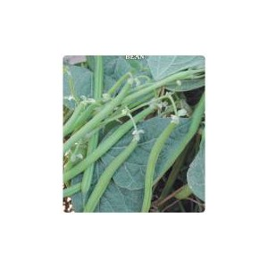 Stringless Atlantis Bean Seed(50 gram)