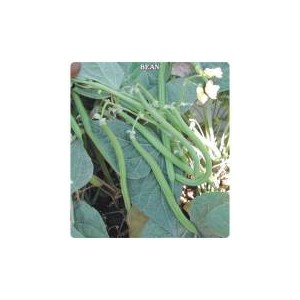 Stringless Sazova  Bean Seed(50 gram)