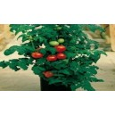 Natural Patio Tomato Seed(20 seed)