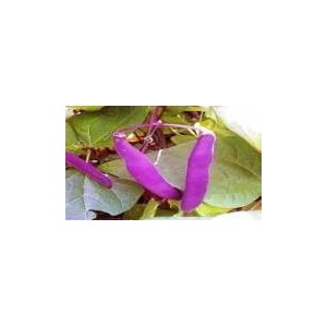 Natural Purple Bean Seed(20 seed)