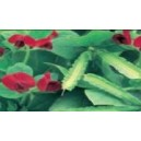 Natural Winged Pea Seed(20 seed)