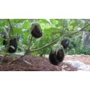 Natural Black Beauty Eggplant Seed(20 Seed)