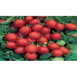 Natural Sugar Plum Tomato Seed(20 Seed)