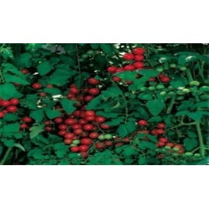 Natural Sweetie Tomato Seed(20 Seed)