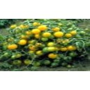 Natural Yellow Pigmy  Tomato Seed(20 seed)