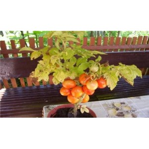 Natural Tigerette Cherry Tomato Seed(20 seed)