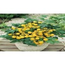 Natural Tumbling Tom Yellow Tomato Seed(20 seed)