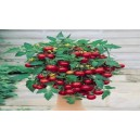 Natural Tumbling  Tom Red Tomato Seed(20 seed)