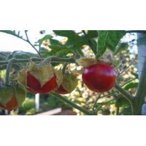 Natural Prickly Tomato Seed(20 Seed)