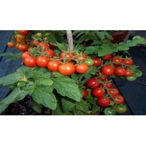 Natural Red Robin Tomato Seed(20 Seed)