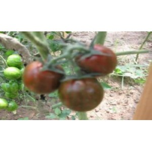 Natural Black Stick Tomato Seed(20 seed)